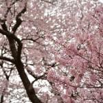 2014/4/18 4度目の春と初体験。今年自走初訪問福島ツー その5 弘法桜と台の桜、そして桜求めて爆走www