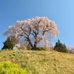2014/4/19 4度目の春と初体験。今年自走初訪問福島ツー その6 合戦場のしだれ桜、福聚寺、芹が沢桜