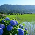 2014/6/13 月刊富士山ぷちっと散歩ツー その1 開成町のあじさい祭1