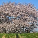2015/4/2 桜 その2 -多摩川-