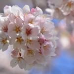 2015/4/2 桜 その3 -多摩川-