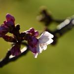 多摩川の桜開花情報