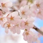エスト・ミオ初福島初関東脱出花見ツー その1 滝桜