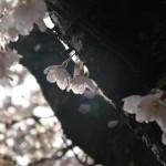 2016年4月8日 エスト・ミオ初京浜脱出。山梨桜めぐりツー その1 わに塚の桜