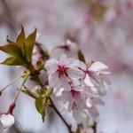 2016年4月8日 エスト・ミオ初京浜脱出。山梨桜めぐりツー その3 実相寺 身延のしだれ桜子孫
