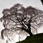 2016年4月8日 エスト・ミオ初京浜脱出。山梨桜めぐりツー その4 フルーツ公園と乙ツ妻のしだれ桜