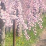 エスト・ミオ初福島初関東脱出花見ツー その5 日中線のしだれ桜