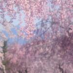 エスト・ミオ初福島初関東脱出花見ツー その6 日中線のしだれ桜~会津桜めぐり