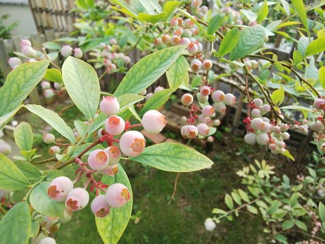 お庭にはブルーベリー